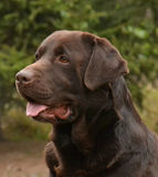 Chocolate Labrador Head Royalty Free Stock Photography