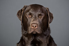 Chocolate Labrador with his Eyes Shut Royalty Free Stock Photo