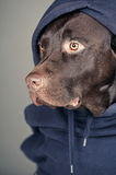Chocolate Labrador in Hooded Top Royalty Free Stock Photography