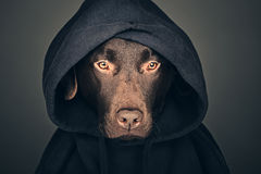 Chocolate Labrador in Hooded Top Stock Photo