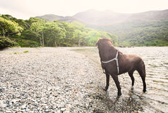 Chocolate Labrador by Lake Royalty Free Stock Image