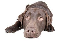 Chocolate Labrador Lying Down Royalty Free Stock Image