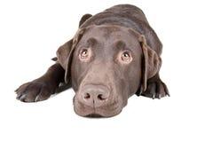 Chocolate Labrador Lying Down Royalty Free Stock Image