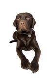 Chocolate Labrador Lying Down Stock Photo