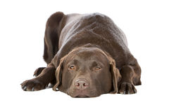 Chocolate Labrador Lying Down Royalty Free Stock Images