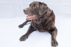 Chocolate Labrador Lying Down Stock Photography