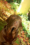 Chocolate labrador male looking up Royalty Free Stock Photography