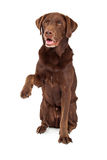 Chocolate Labrador Paw Extended Stock Photos
