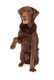Chocolate Labrador Paw Extended Stock Photos