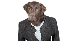 Chocolate Labrador in Pin Stripe Suit Royalty Free Stock Photography