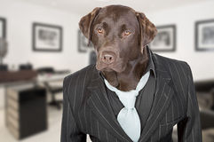 Chocolate Labrador in Pin Stripe Suit Stock Photo