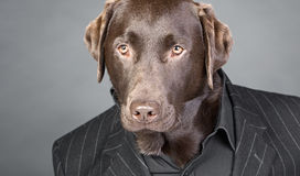 Chocolate Labrador in Pinstripe Suit Royalty Free Stock Images