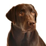 Chocolate labrador portrait Stock Image