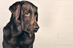 Chocolate Labrador Profile Royalty Free Stock Images