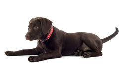 Chocolate Labrador Pup Stock Image