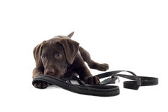 Chocolate Labrador pup Royalty Free Stock Images