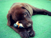 Chocolate Labrador pup playing with a toy Stock Photo
