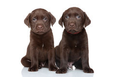 Chocolate labrador puppies Stock Photography