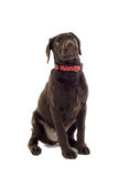 Chocolate Labrador Puppy Royalty Free Stock Photography