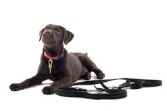 Chocolate Labrador puppy Stock Images