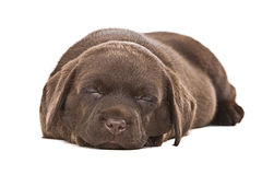 Chocolate Labrador Puppy Asleep Stock Images