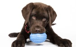 Free Chocolate Labrador Puppy Of Three Months Biting A Blue Toy On White Background. Isolated Image Stock Photos - 174730173