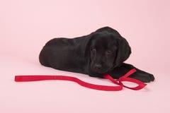 Chocolate Labrador puppy on pink background Stock Photos