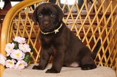 Chocolate labrador puppy sits on the chair Stock Image