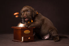 Chocolate labrador puppy sitting on brown Royalty Free Stock Photos