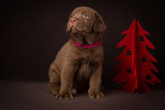 Chocolate labrador puppy sitting on brown background near the Christmas tree Stock Photo