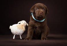 Chocolate labrador puppy sitting next to  white Royalty Free Stock Image