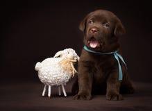 Chocolate labrador puppy sitting next to white Stock Photo