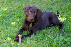 Chocolate Labrador Puppy. Young Chocolate Labrador puppy lying on the grass with a bone Royalty Free Stock Photography