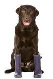 Chocolate Labrador in Purple Wellington Boots Stock Photo
