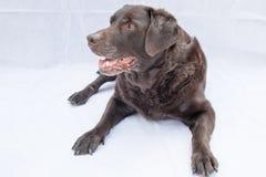 Chocolate Labrador que encontra-se para baixo Fotografia de Stock