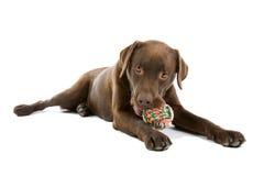 Chocolate Labrador que mastica el juguete fotos de archivo libres de regalías