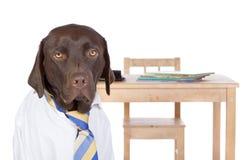 Chocolate Labrador que vai para trás à escola Fotografia de Stock