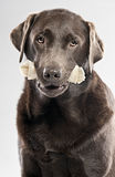 Chocolate Labrador with Rawhide Stock Photo