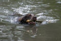Chocolate Labrador Retriever Royalty Free Stock Photography