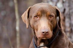 Chocolate Labrador Retriever Adoption Photo. Chocolate brown Lab mixed breed adoption pet photography for Walton County Animal Control humane society shelter stock photography