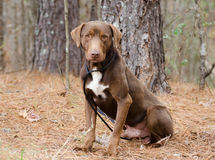 Chocolate Labrador Retriever Adoption Photo Royalty Free Stock Photo