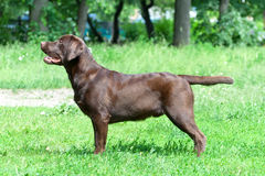 Chocolate labrador retriever (age 9,0 months). Royalty Free Stock Photography