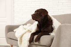 Chocolate labrador retriever covered with plaid on cozy sofa stock photos