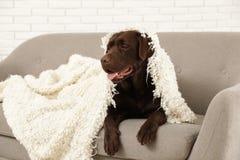 Chocolate labrador retriever covered with plaid on cozy sofa stock image