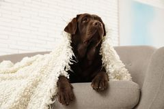 Chocolate labrador retriever covered with plaid on cozy sofa royalty free stock images