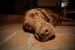 Chocolate labrador retriever dog. Chocolate Labrador Retriever laying on a brick floor royalty free stock photo