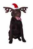 Chocolate Labrador Retriever Dog Stock Photo