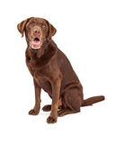 Chocolate Labrador Retriever Dog Drooling. Chocolate labrador retriever dog sitting with slobber and drool dripping from his mouth Royalty Free Stock Photos