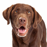 Chocolate Labrador Retriever Dog Head Shot. Closeup Chocolate Labrador Retriever dog head shot with happy expression and mouth open Stock Photography