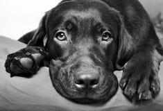 Chocolate Labrador Retriever dog Stock Image